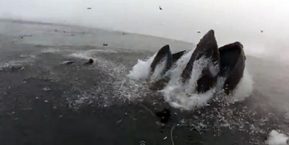 ザトウクジラのお口にパックン。ゴックンされそうになったダイバー。