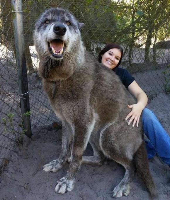 すごく巨大です。オオカミの血を色濃く残すウルフドッグ。一緒に写った女性との大きさ比較(アメリカ)