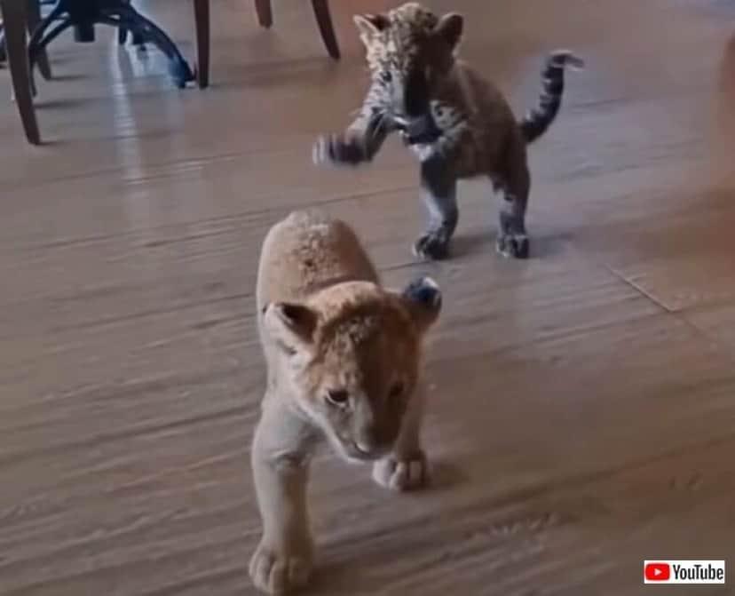 jaguarnlion1_640