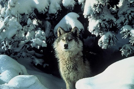 雪の中の狼の画像