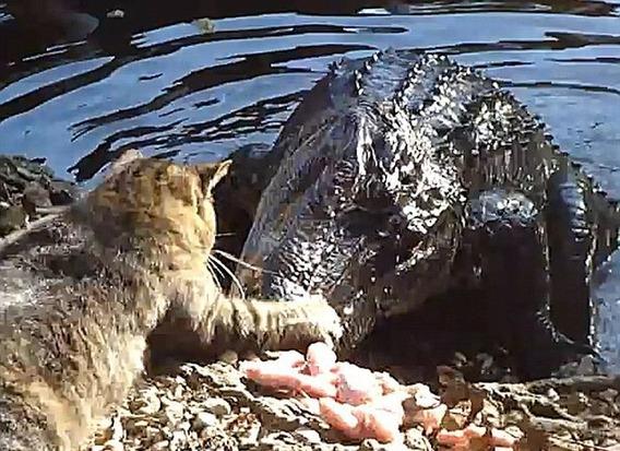 cat_vs_alligator_04