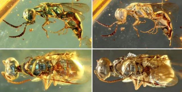 白亜紀の琥珀から昆虫を発見