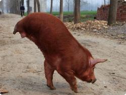 【動画】後ろ足が生まれつきなかった豚、前足で逆立ちしながらの二足歩行を覚えアイドルに(中国)