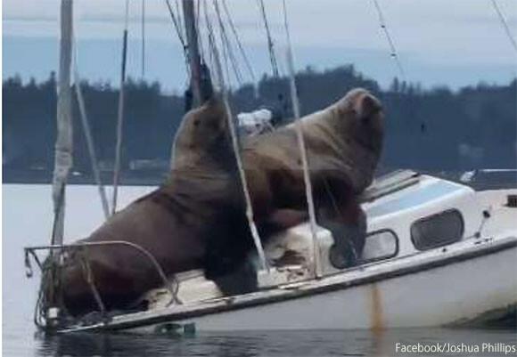 アシカのシージャック!?2頭のトドがボートを乗っ取り海をさすらう(アメリカ)