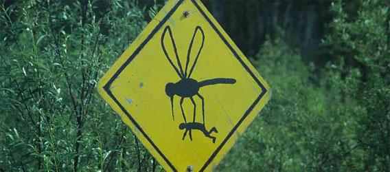 自らを絶滅させる遺伝子組み換え蚊を放ったところ、85%の蚊を減らすことに成功(ブラジル)
