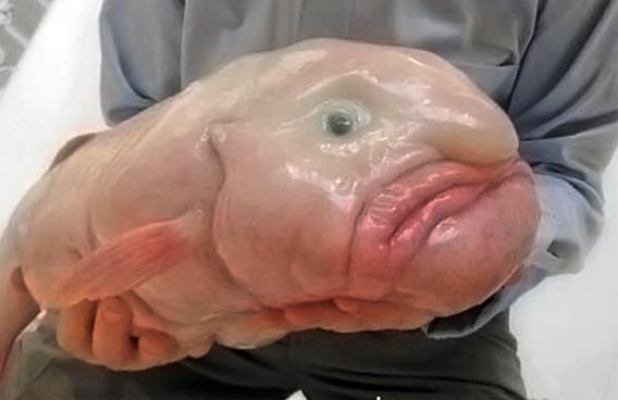 グロカワの魅惑。世界で最も醜い生き物ランキングベスト5。一位はあの深海生物(画像+動画)