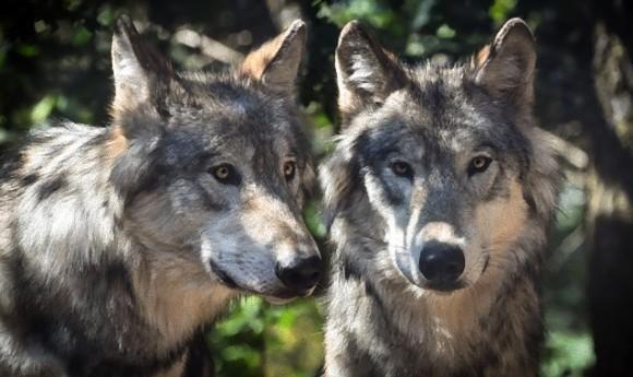 図らずもドイツ軍に庇護され、その生息数を増やし始めたオオカミ(ドイツ)