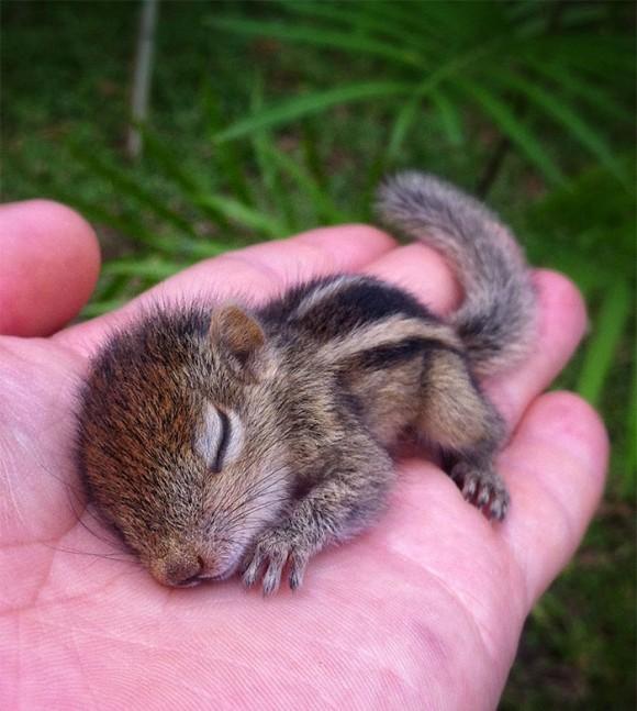 手の平の上で寝るリス