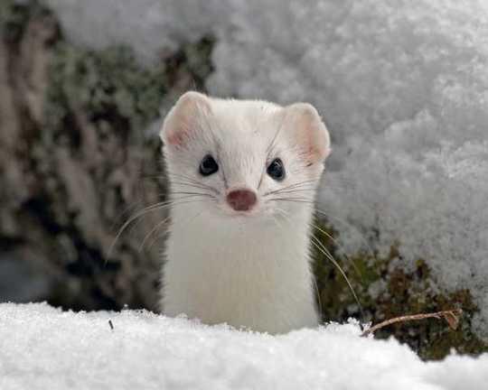 snow-weasel-