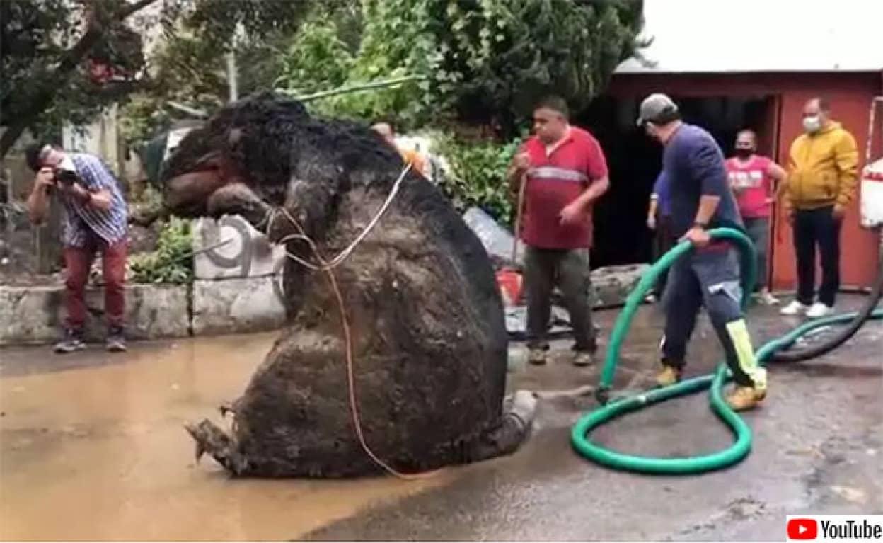 下水から巨大ネズミが出現、その正体は?