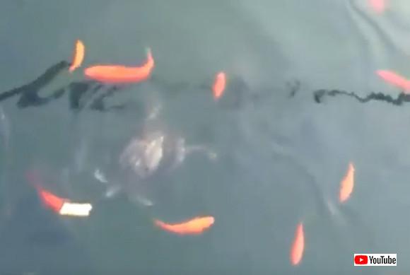 一片のパンを池に投入。魚やカメたちの争奪戦の中、漁夫の利を得たものは?