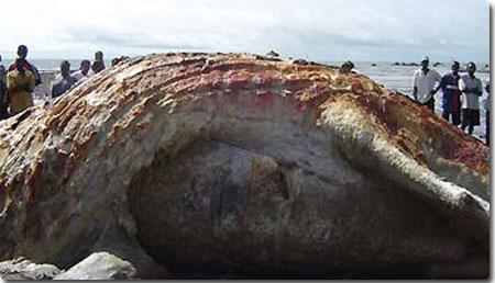 ギニアで発見された謎の巨大生物、いまだ正体わからず