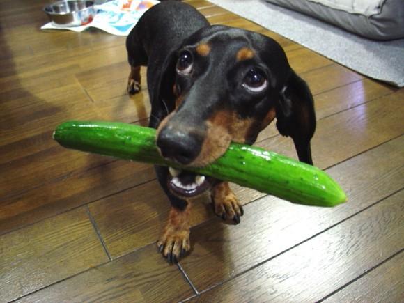 「これおいしいよ!食べてみて!」犬は自分にとってのごちそうを仲間に分け与えることが判明。親しい相手には特に(オーストリア研究)