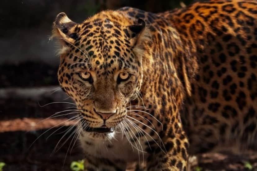 jaguar_e