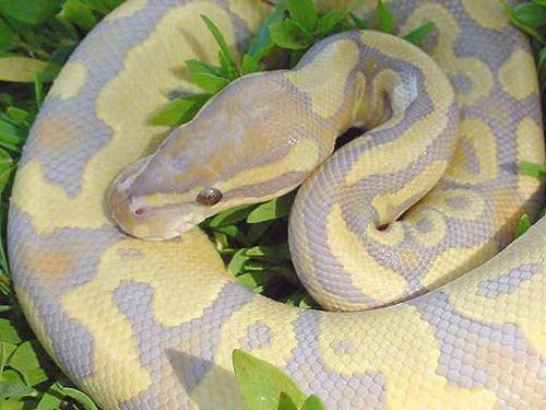 ball_python_caramel_glow_J-peg