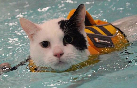 犬に育てられた猫だから。犬専用のリハビリプールでリハビリに励み失われた筋肉がもりもりついた猫(イギリス)