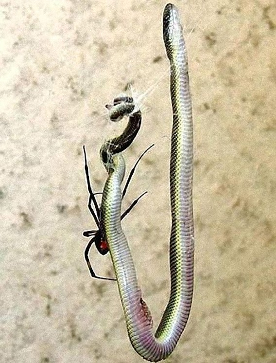 south_african_spider_catches_and_eats_the_snake_640_04_e