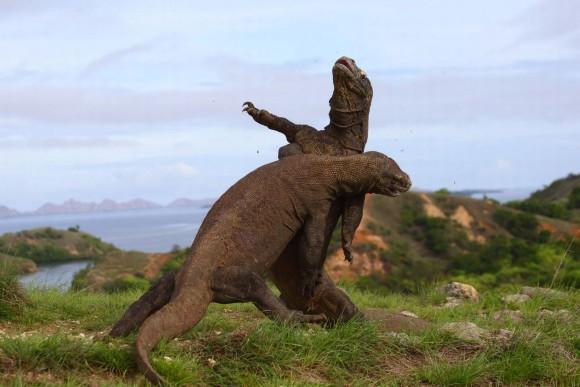 コモドドラゴン同士のバトルがあまりにも恐竜っぽかったのでコラ職人頑張る
