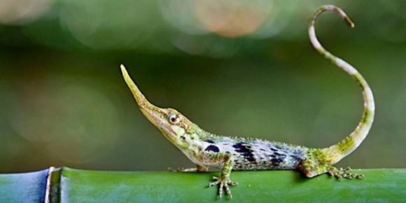 50年前に絶滅したと考えられていたトカゲが生きていた。ピノキオみたいな鼻を持つ「ピノキオアノール」