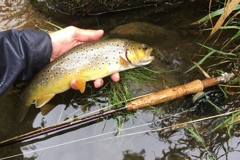 brown-trout-6173665_640