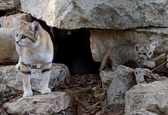 sand_cat_kitten_09