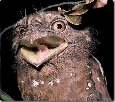 カエルの口に似ていることから、英語では「フロッグマウス(Frogmouth)」という名前がついているこの鳥は、日本では「ガマグチヨタカ 」と言うんだそうだ。