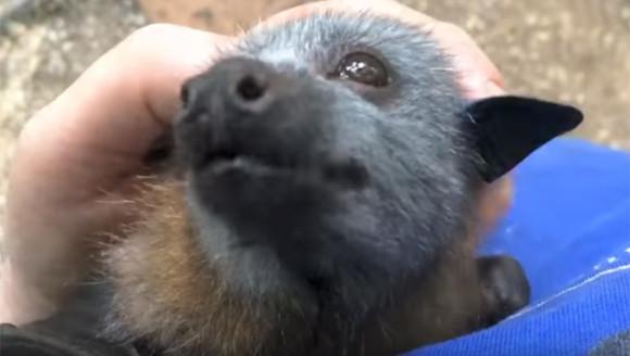 顔だけじゃなくそのなつきっぷりまで。空飛ぶ子犬かよ!ってくらいコウモリの犬化が著しい件に関して(オーストラリア)