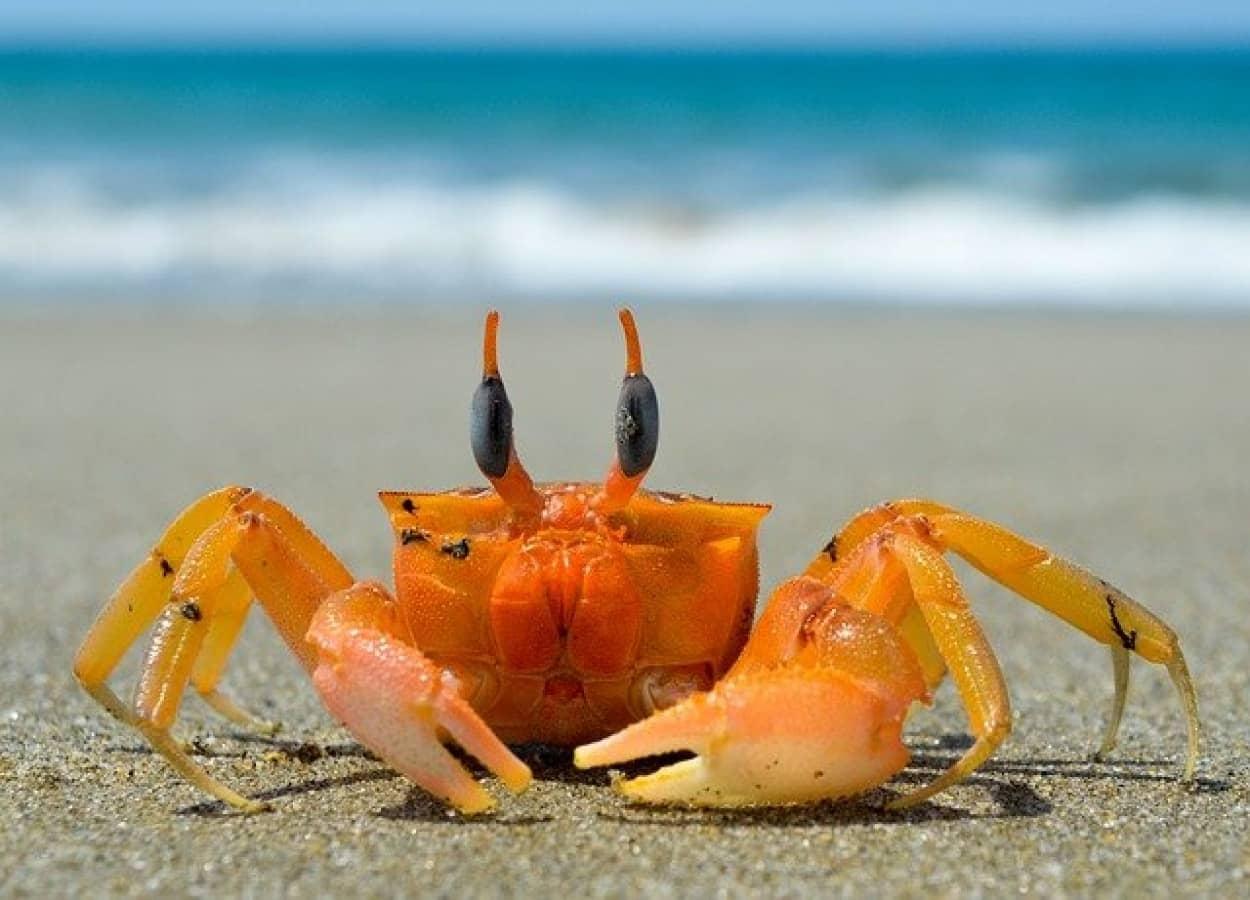 収束進化で海の生き物のカニ化が進む