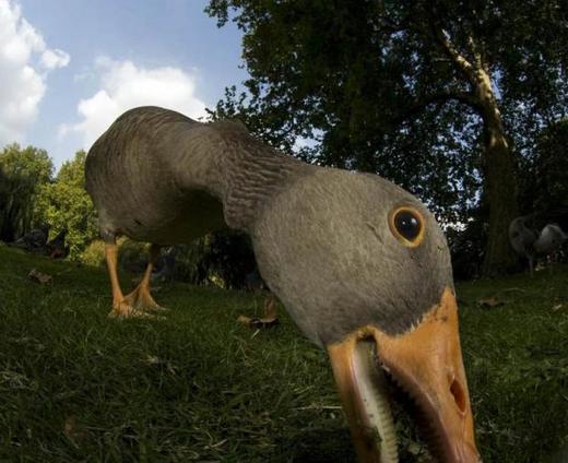 a-goose-checks-out-the-camera_0