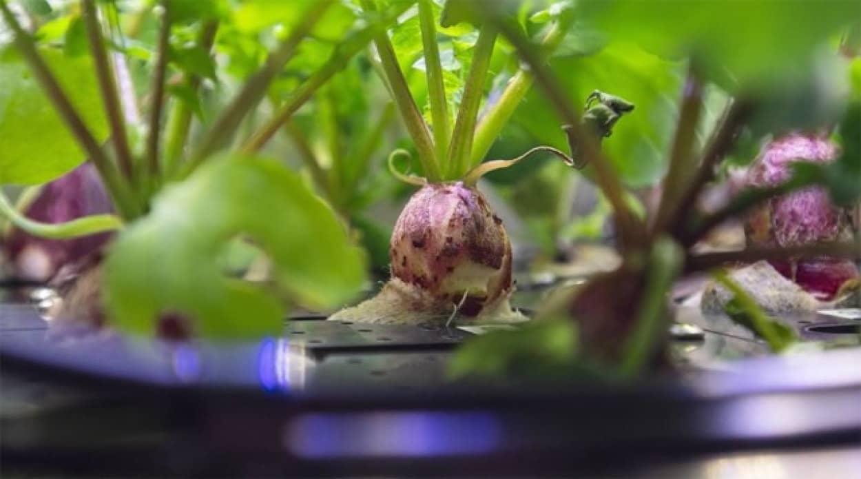 宇宙栽培したラディッシュの成長記録