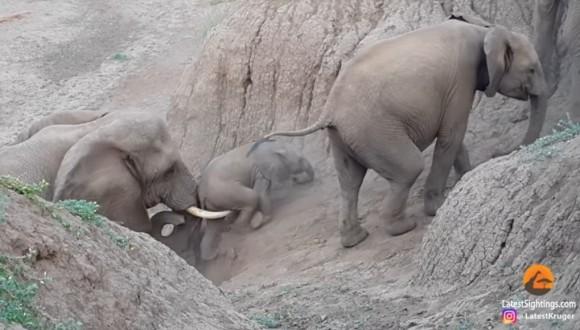 象のリーダーは仲間思い。川岸を登れない赤ちゃん象を牙でやさしく支えて助けてあげる