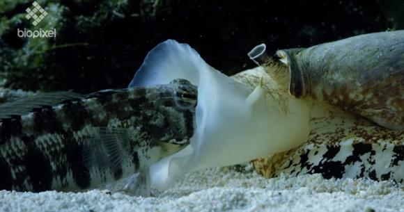 陸海空のあらゆる生物の中で最強の毒を持つとされる海の殺し屋、アンボイナガイの捕食シーンが凄すぎた