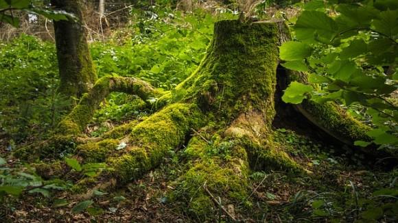 既に死んでいるはずなのに...木の切り株はなぜ生きているのか?ゾンビツリーの謎が明らかに(ニュージーランド)