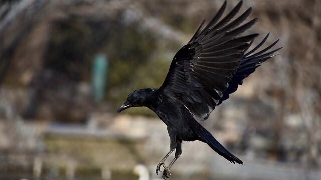 crow-3452762_640