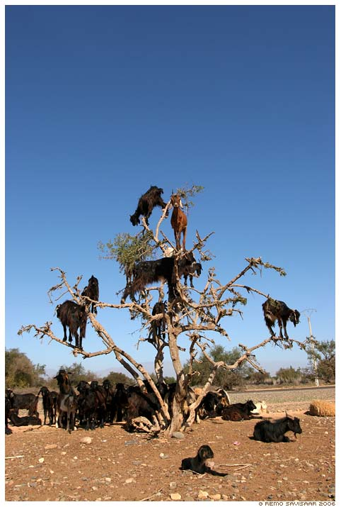 tree_goats1