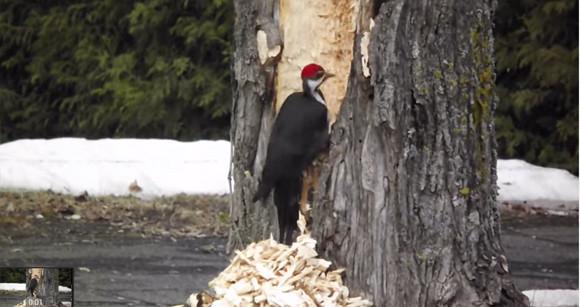 やりすぎキツツキ。木を掘り進めていく内に暴走モードに突入した。