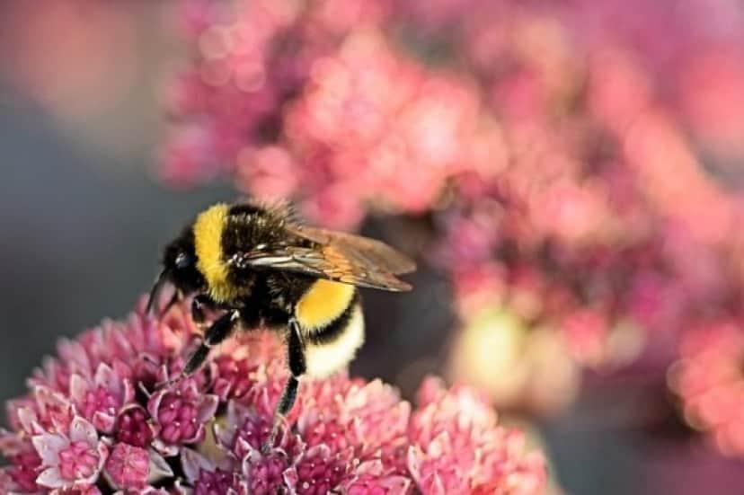 bumblebee-3647445_640_e