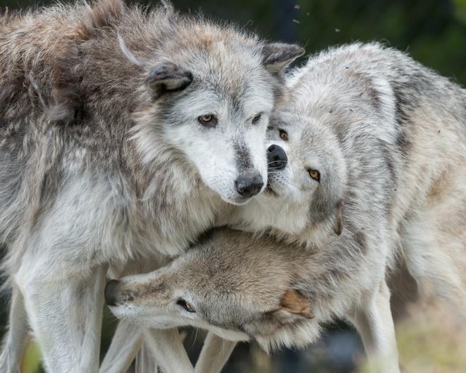 オオカミを導入してから25年。イエローストーン公園の生態系が安定したことを確認(アメリカ)