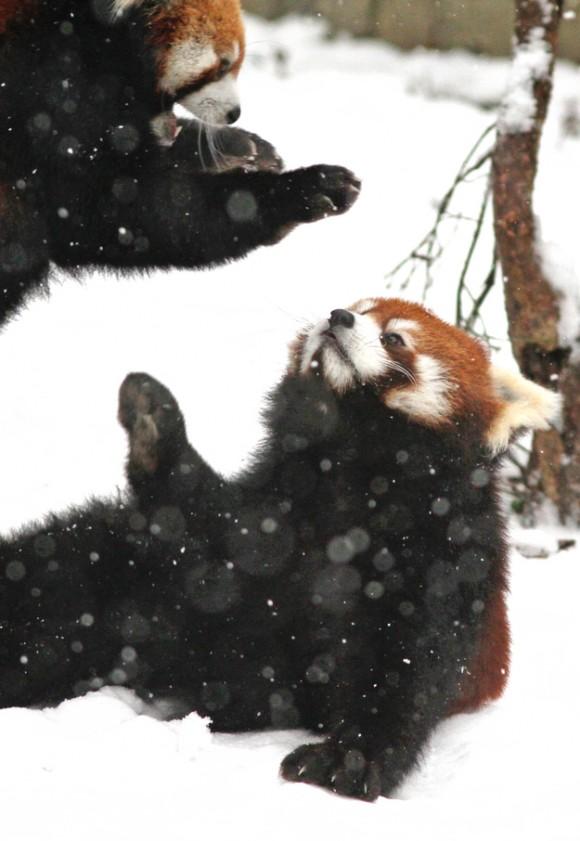 じゃれてるレッサーパンダ