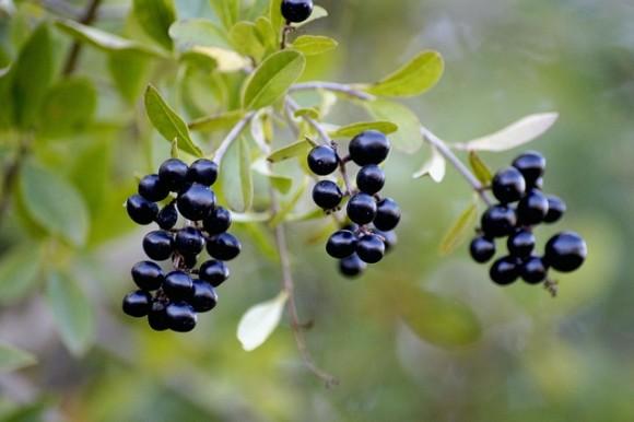 berries-3716277_640_e