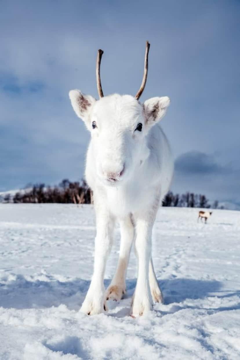 reindeer-3 (1)