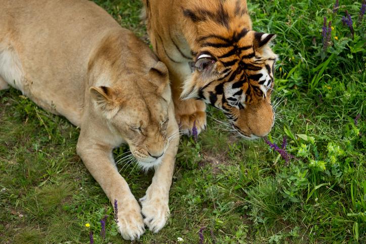 アメリカの動物園でライオン、トラ、ゴリラなど20種の動物たちのコロナワクチン接種が始まる