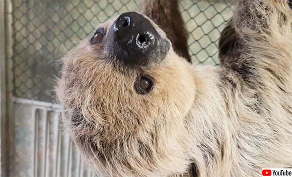 推定年齢50歳。ドイツの動物園にいるナマケモノが世界最高齢としてギネス記録に認定される