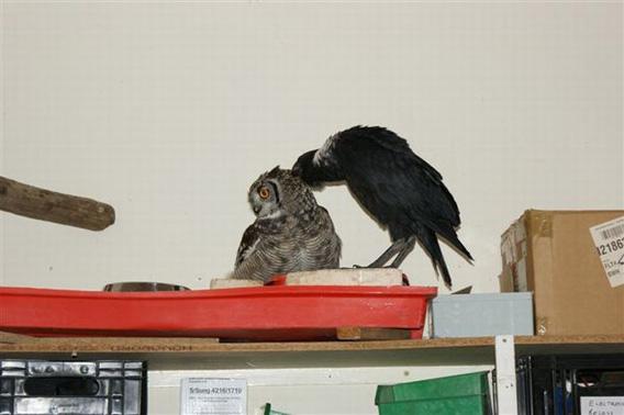 caring_owl_09