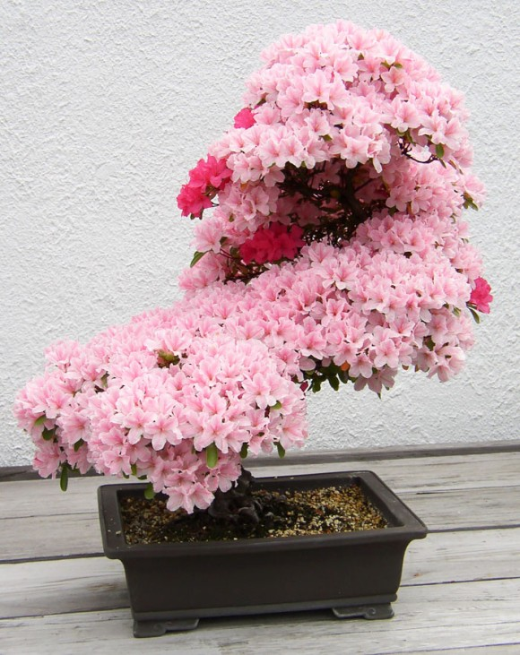 海外での盆栽ブームは急加速。更なる浸透を見せる日本の伝統文化「盆栽 - BONSAI -」