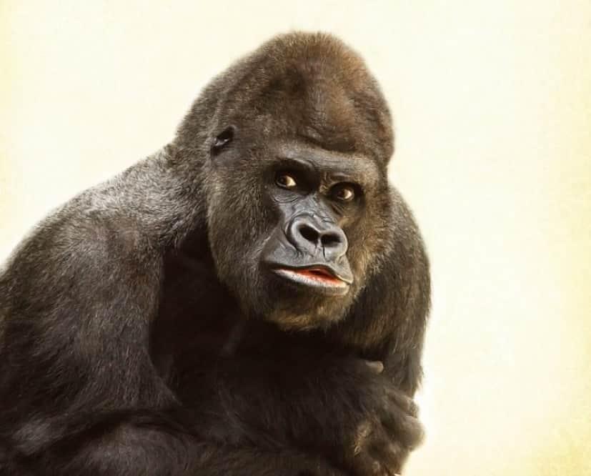gorilla-448731_640_e