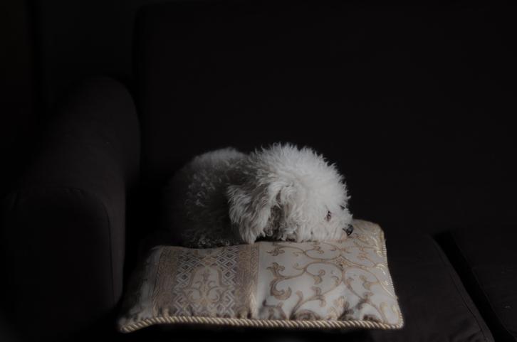 亡き飼い主の棺から離れようとしない犬、墓場まで同行する。