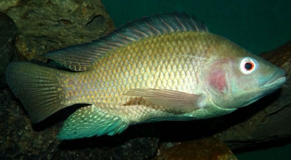 Oreochromis-niloticus-Nairobi_e