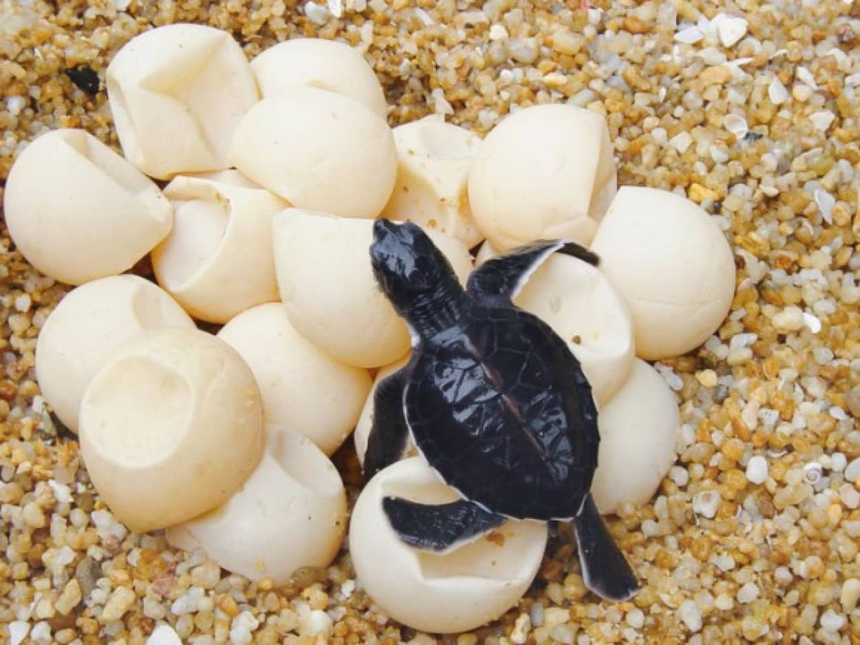 GPSを内蔵した偽の卵でウミガメの密猟業者を追跡