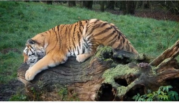 大型ネコ科はカルバン・クラインの香水が大好きなんすよ!動物園側が香水の寄付呼びかけ(イギリス)